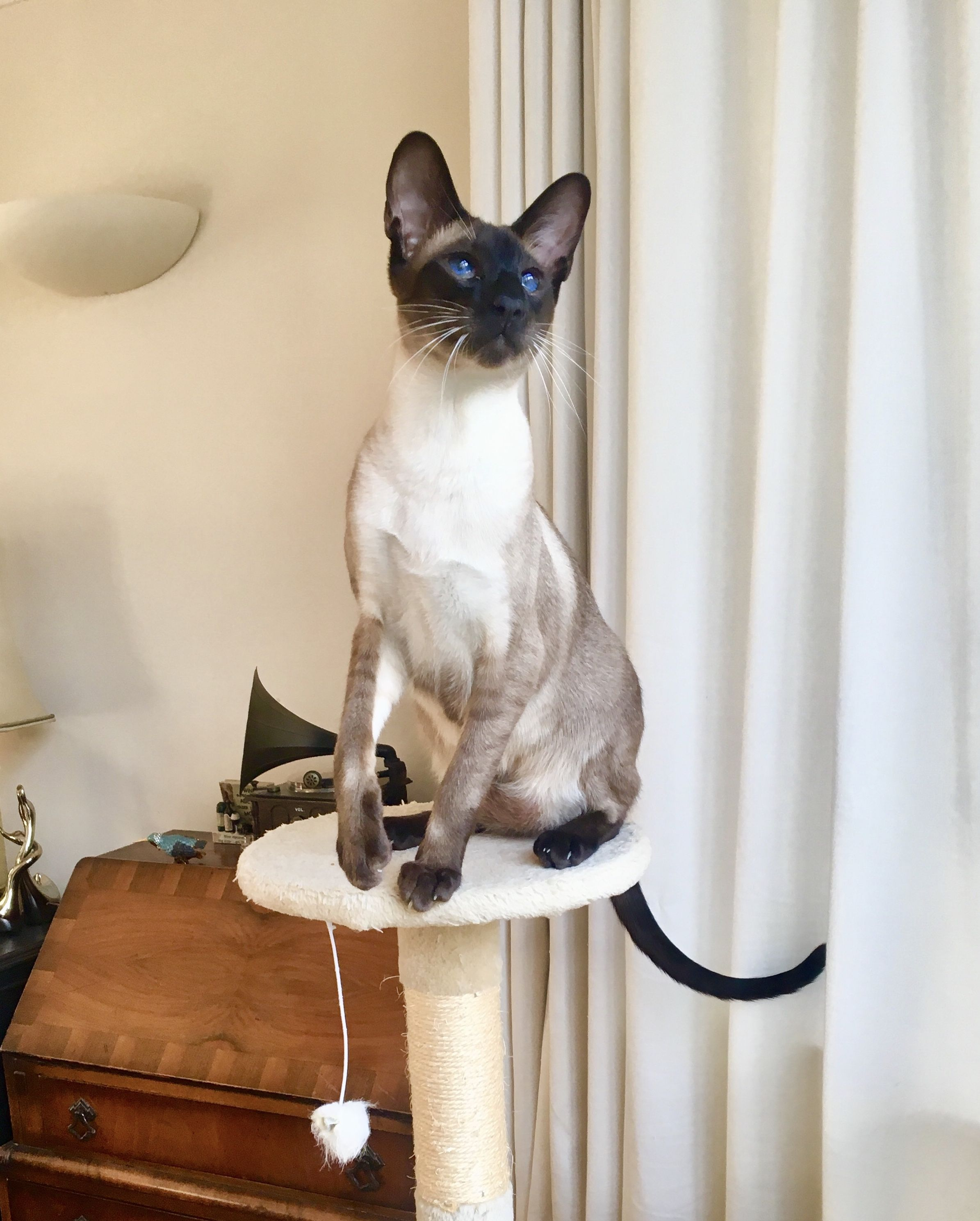 Pin By Susan Dewitt On Siamese Siamese Cats Cat Breeds Siamese Cats
