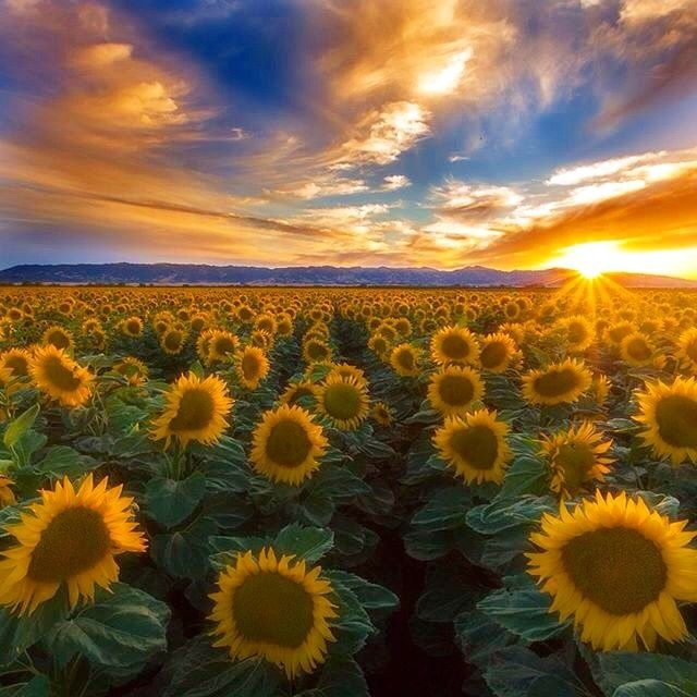 Sunflower Field Vacaville California Pic 400 x 300