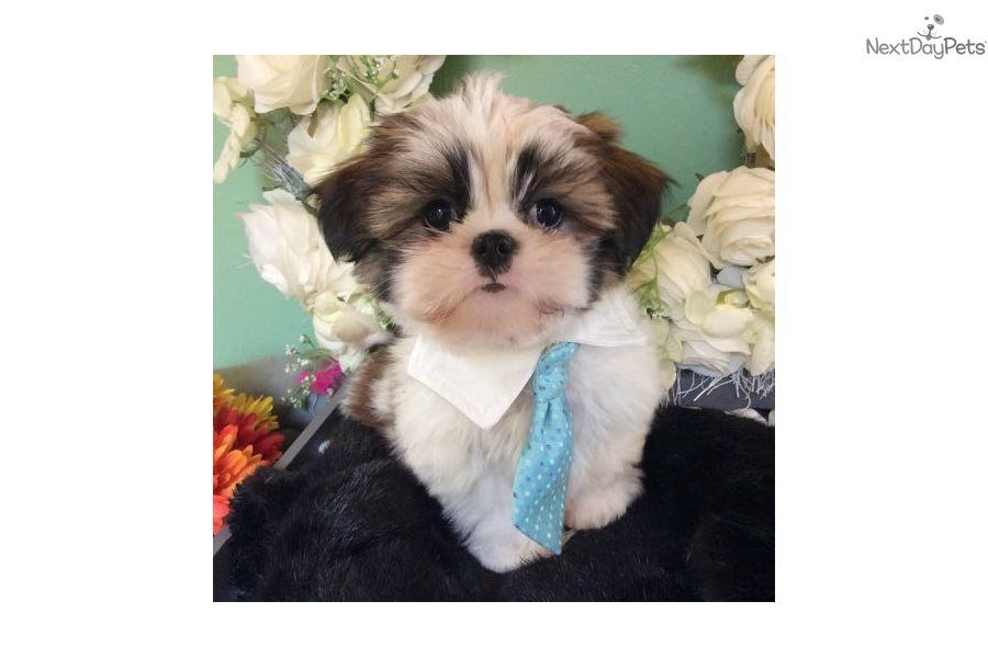 Kleo Shih Tzu Puppy For Sale Near Jacksonville Florida