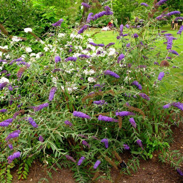 Plant Pictures Buddleja Davidii Nanho Blue Butterfly Bush