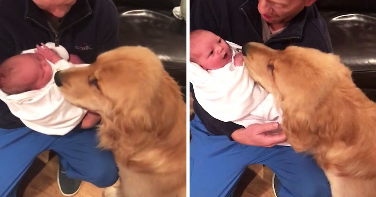 Golden Retriever Meets Baby For The First Time Baby Girl Newborn