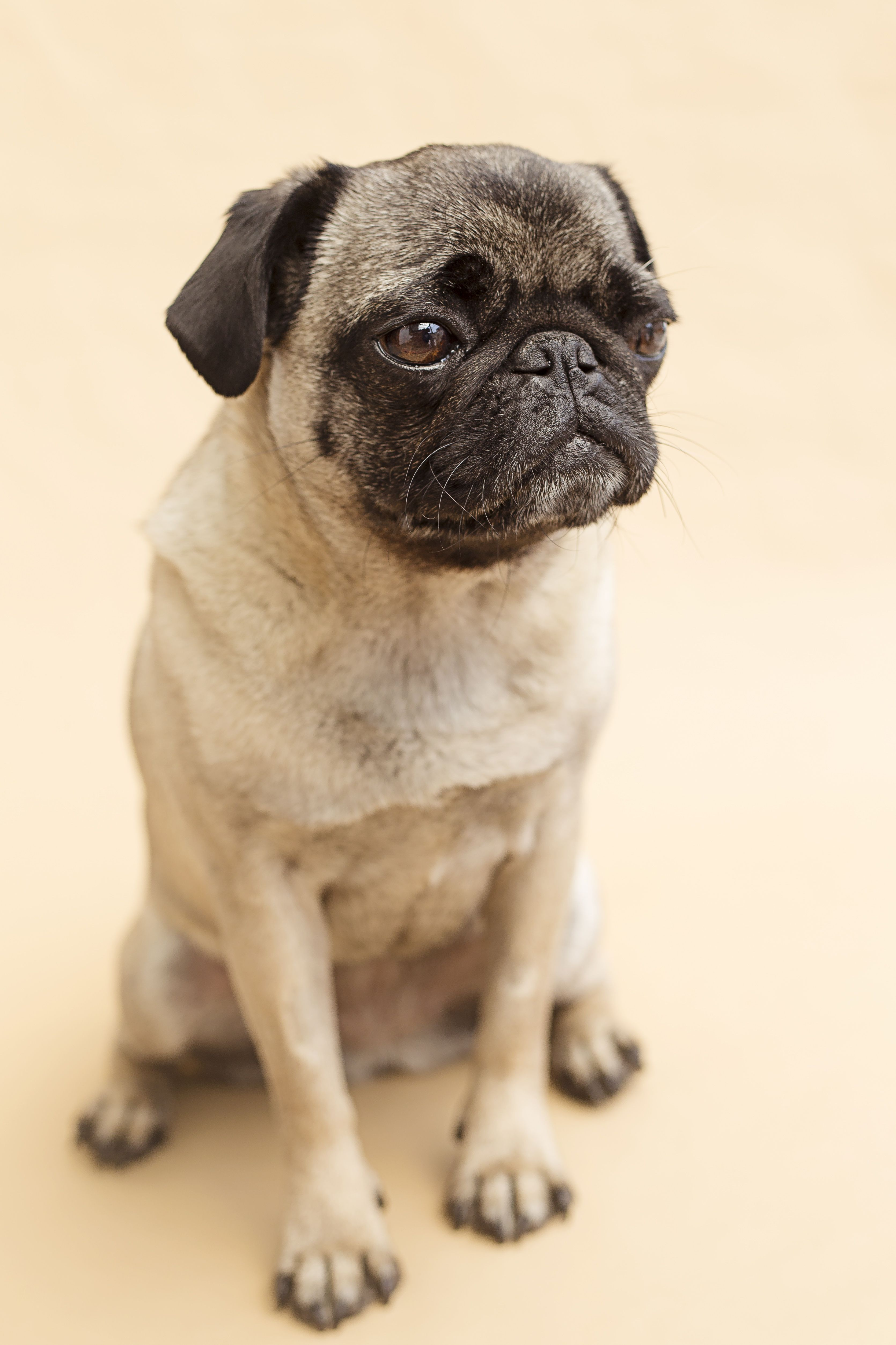 Hund Mops Dog Pug Pugs Grumble Of Pugs Pug Love