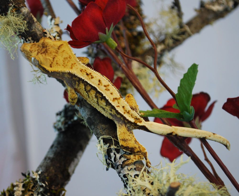 Crested Gecko Morph Guide The Gecko Geek Crested gecko