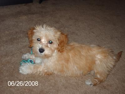 Maltese Dachshund Mix Dachshund Mix Maltese Mix Poodle Mix Dogs
