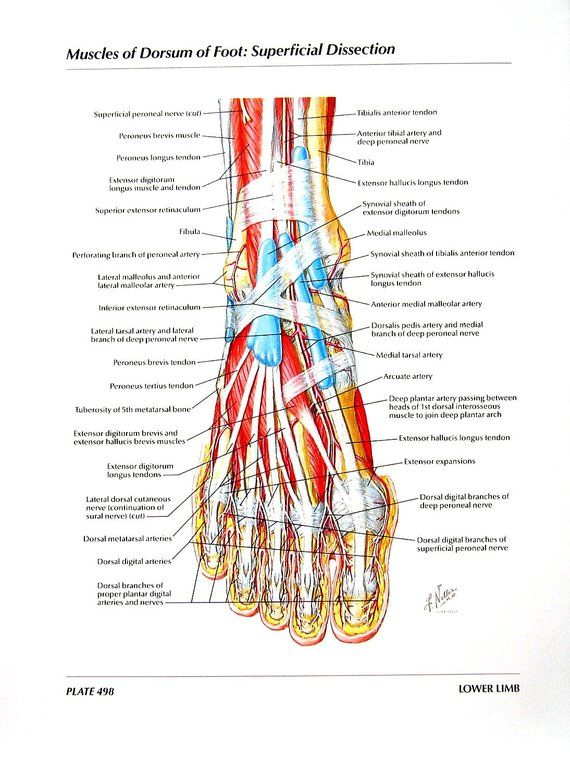 Anatomy Print - Muscles of Dorsum of Foot, Superficial Dissection ...