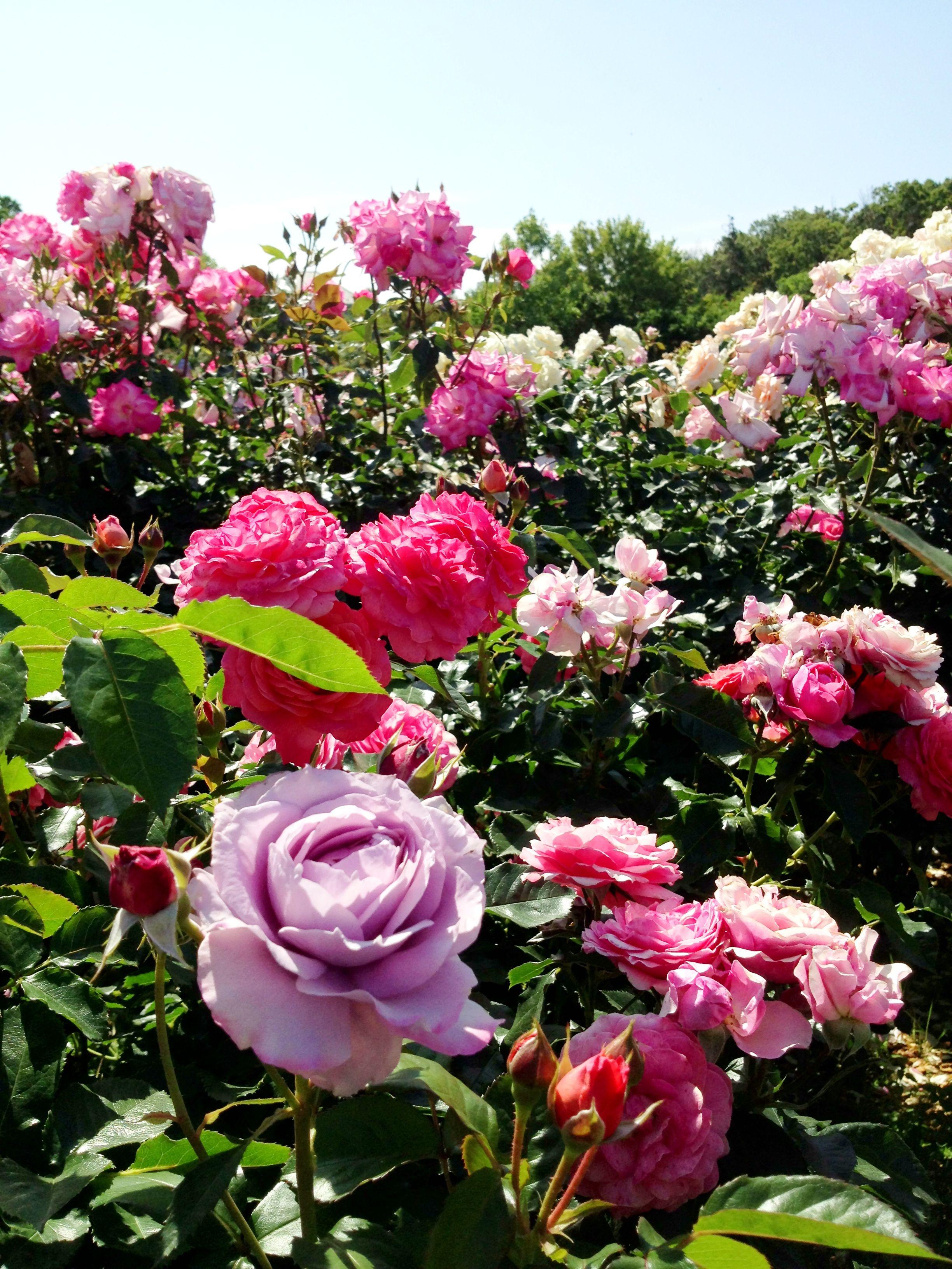 2013,spring KEISEI rose garden chiba,JAPAN 京成ローズガーデン