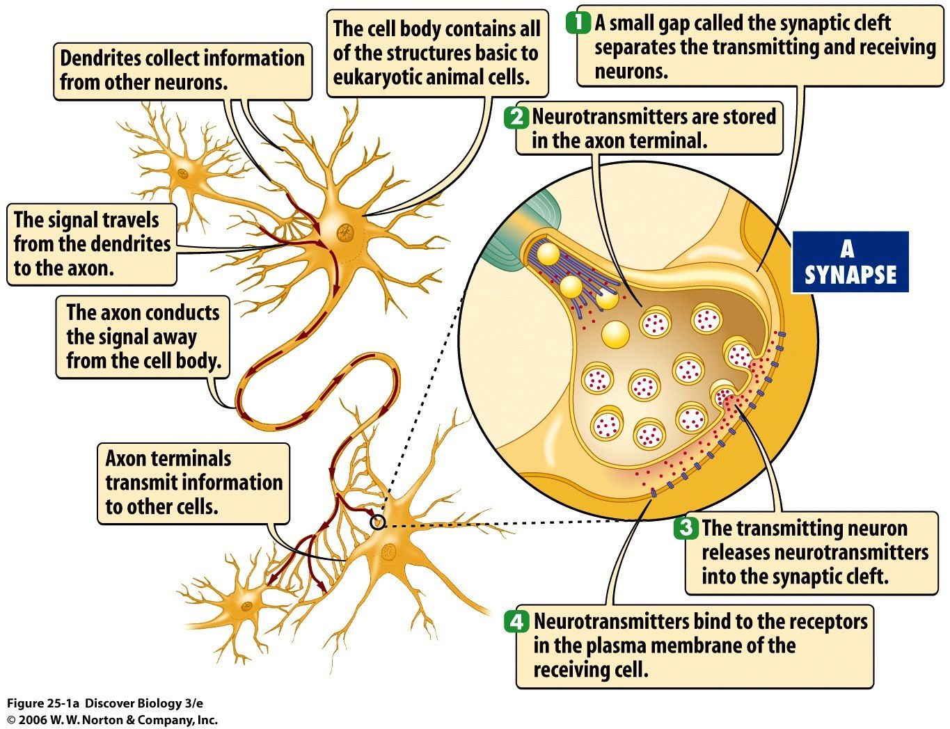 What Are the 7 Neurotransmitters | releases neurotransmitter ...