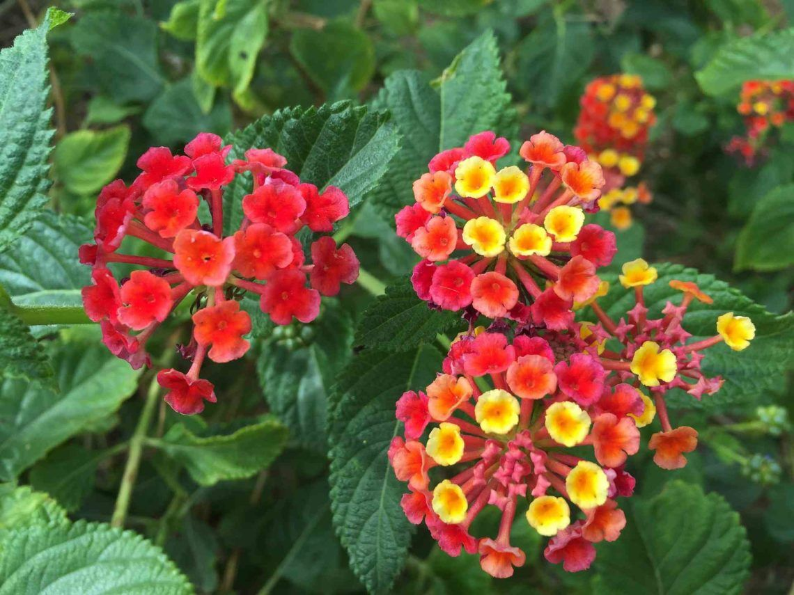 24 Poisonous Garden Plants To Avoid With Pictures To Identify Them Poisonous Plants Lantana Plant Plant Rashes