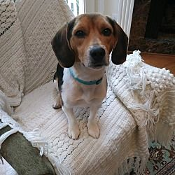 Pin By Lori Langan On Animals Beagle Adoptable Beagle Pet Adoption