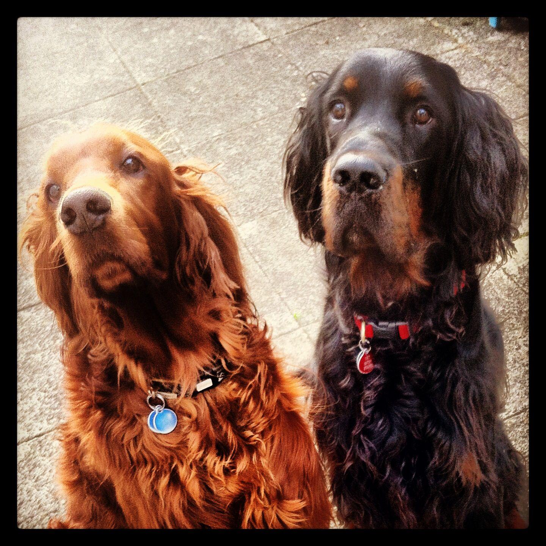 Arthur And Stanley Irish Gordon Settet Irish Setter Irish