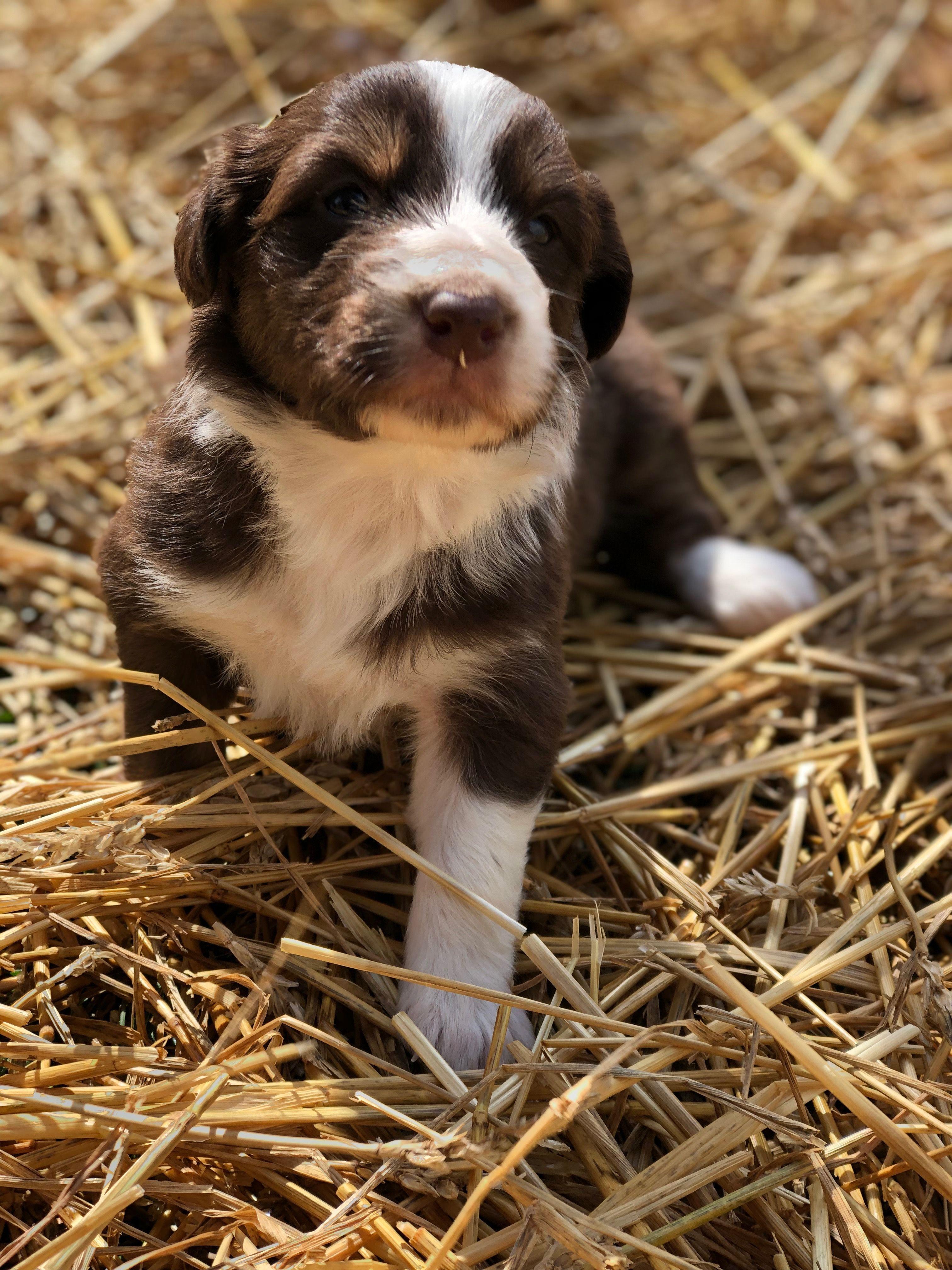 Maple a female ASDR/CKC Australian Shepherd puppy in