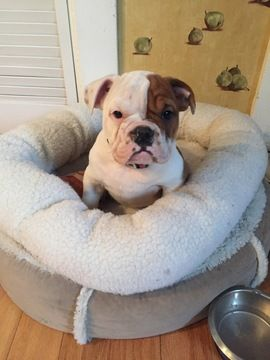 Bulldog Puppy For Sale In Melrose Ma Adn 35184 On Puppyfinder