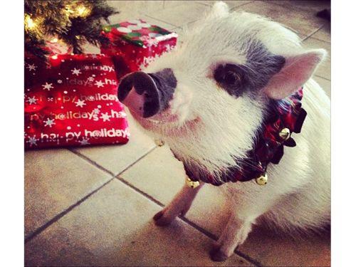 Kendall Schmidt's teacup pig, Yuma!