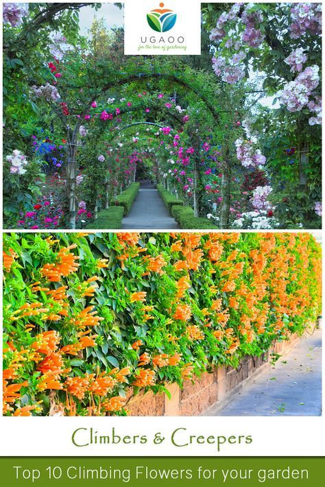 10 Best Climbing Plants For Your Garden Are Great Covering Fences Walls Trellis Arches And These Flowering Climbers Make A Really