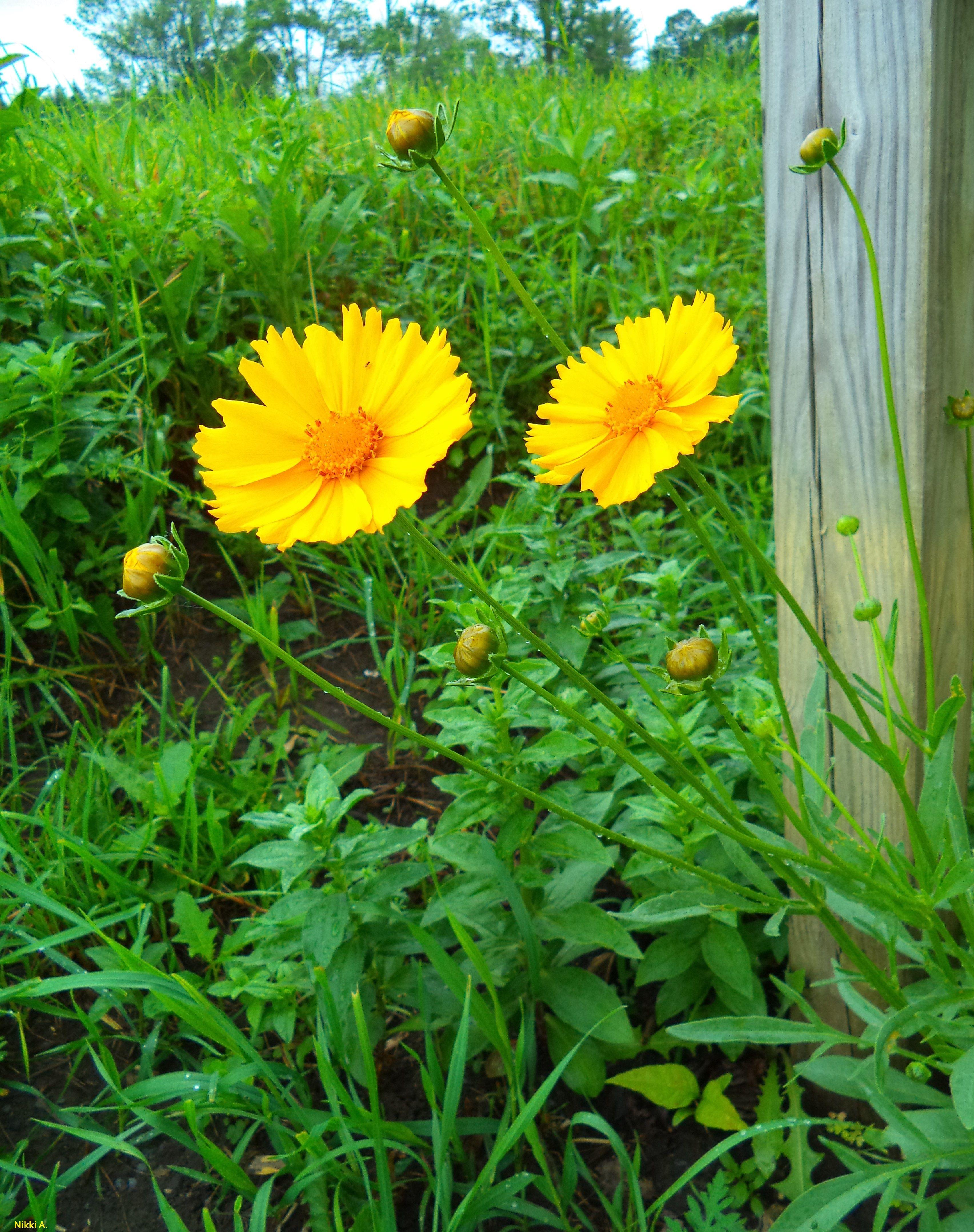 Wildflowers Around The Mailbox Reopsis Lanceolatallow