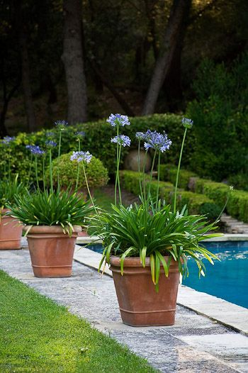 I Am Going To Plant Some Perennials In Pots Agapanthus Use These In My Front Garden Instead Of Planting D Plants Around Pool Pool Plants Pool Landscaping