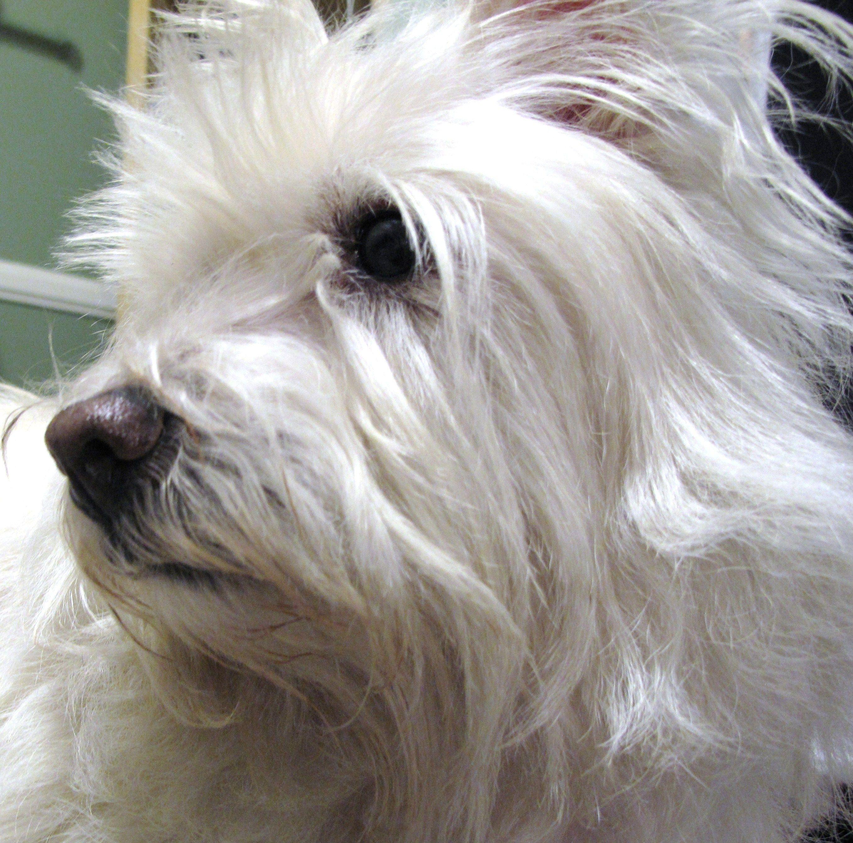 My Isabella   ♥♥♥ West Highland White