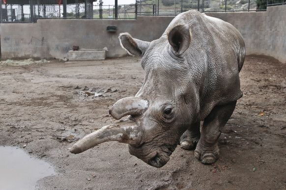 Animals dying peacefully of old age is rarely newsworthy, but the death of Nola the northern white rhino at the San Diego Zoo on Sunday (11/22/15) made international headlines. Nola was one of only four northern white rhinos left on Earth; her death is a real-time window on extinction.