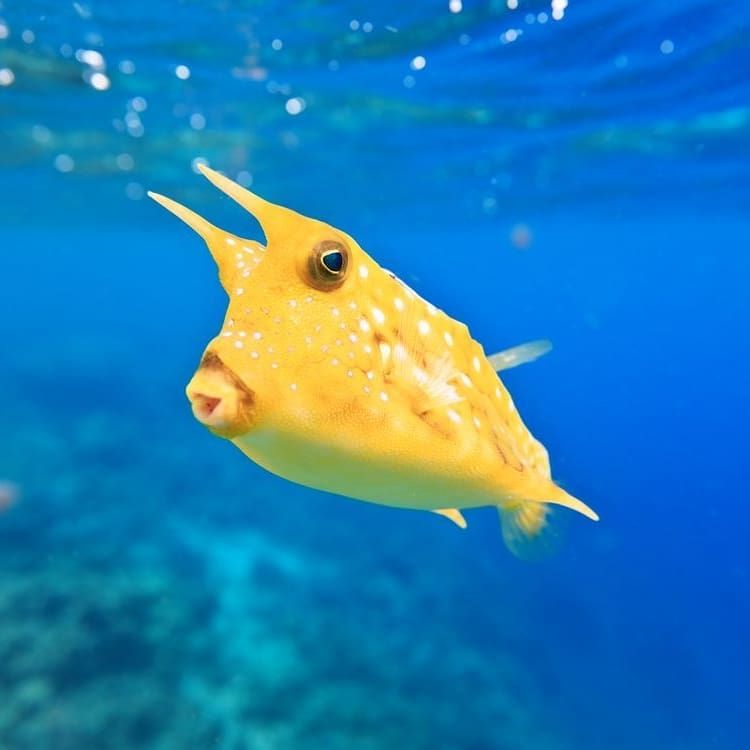 Meet The Sassy Yet Sweet Long Horned Cowfish These Toxic Fish Sport Blue Eyes And Pursed Lips That Are Perfect For Forag Deep Sea Creatures Cow Fish Animals