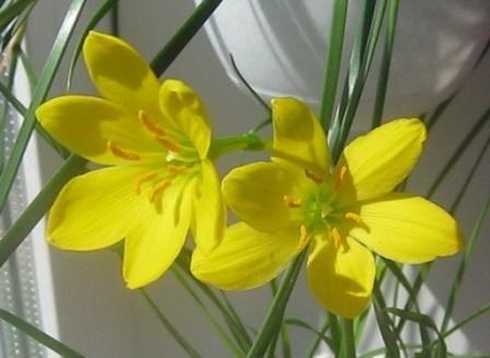 Комнатные цветы фото с названиями зефирантес