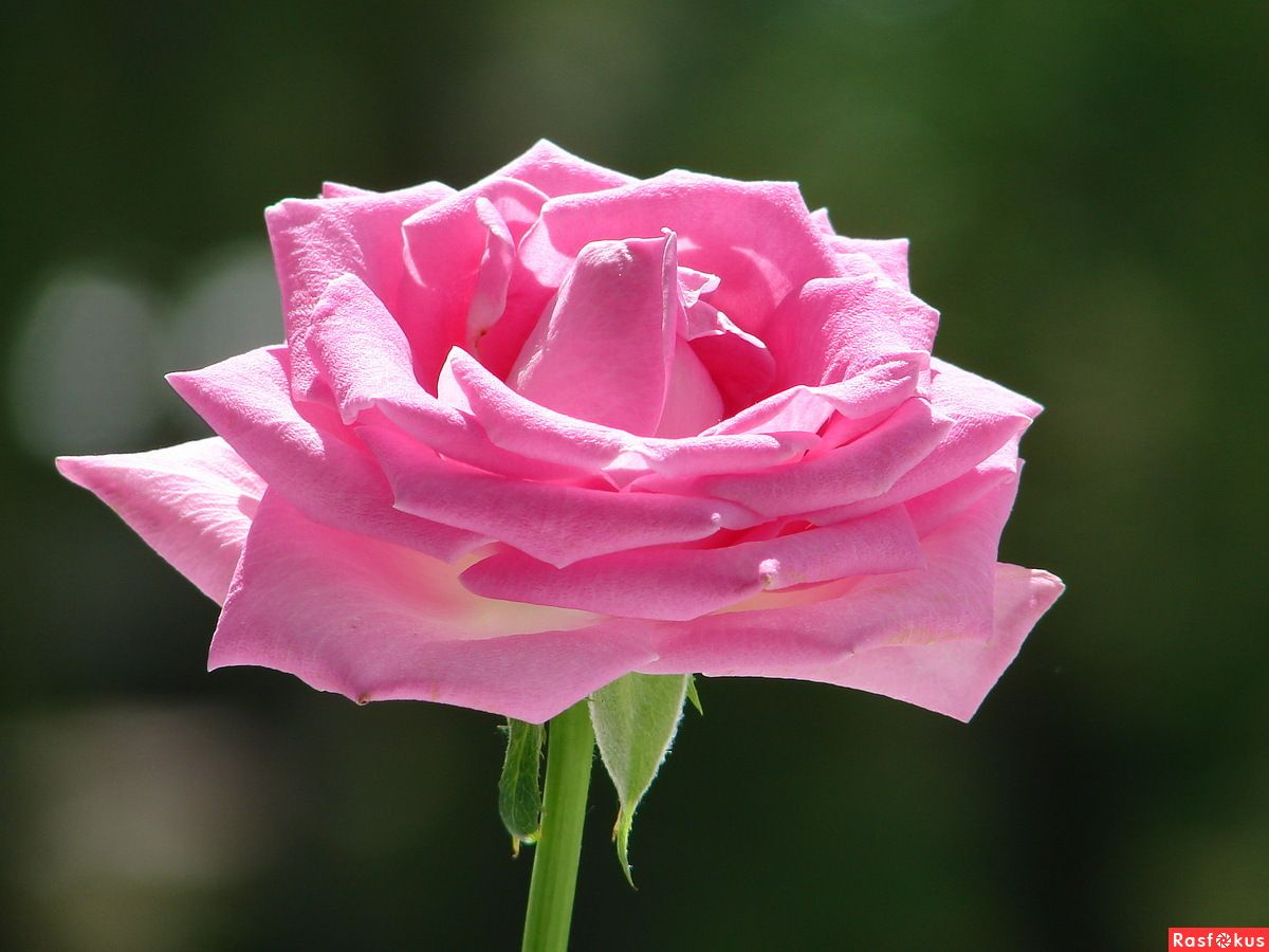 Розовая роза.. | Розовые розы, Розы, Розовые цветы
