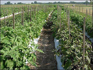 G6369 Eggplant Production | University Of Missouri Extension