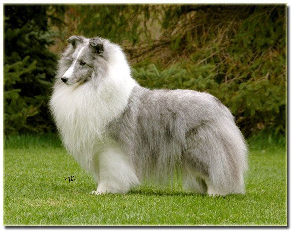 Biss Am Can Ch Laureate Louisiana Laureate Shelties Sheep Dog