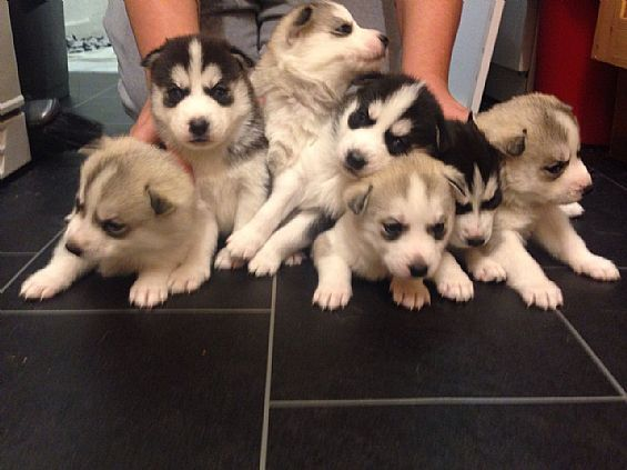 Siberian Husky Puppies Pet Dog Puppies For Sale in West