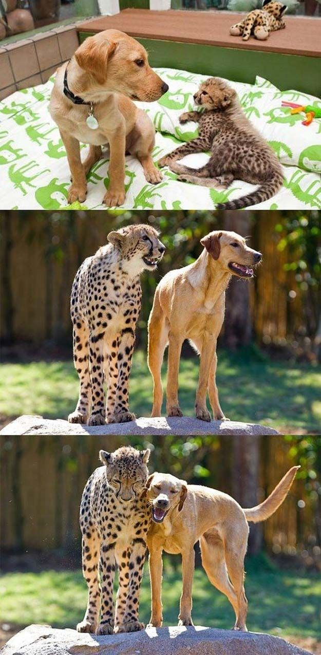 The dog who got older but who – what I am trying to say is that the important point of this story is that HE IS BEST FRIENDS WITH A CHEETAH.
