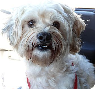 Glastonbury Ct Havanese Poodle Miniature Mix Meet Jep 12 Pounds A Dog For Adoption Dog Adoption Havanese Adoption