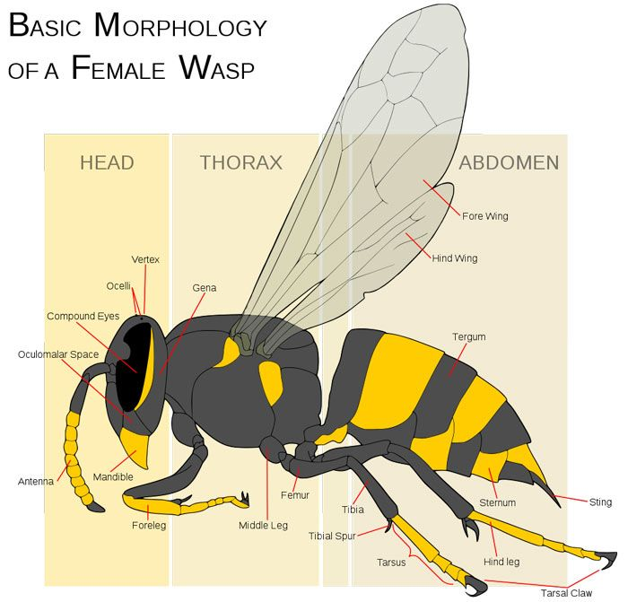 Anatomy Of A Wasp Insects Pinterest Wasp And Insects