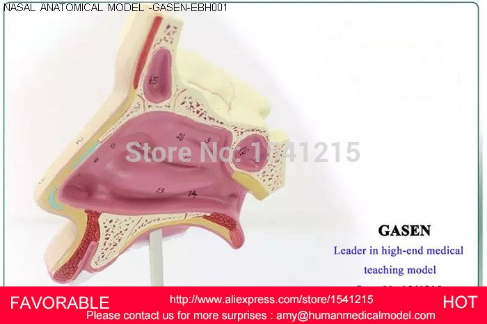 ENT MEDICAL NASAL ANATOMICAL MODEL MUZZLE NOSE NASAL CAVITY MODEL ...