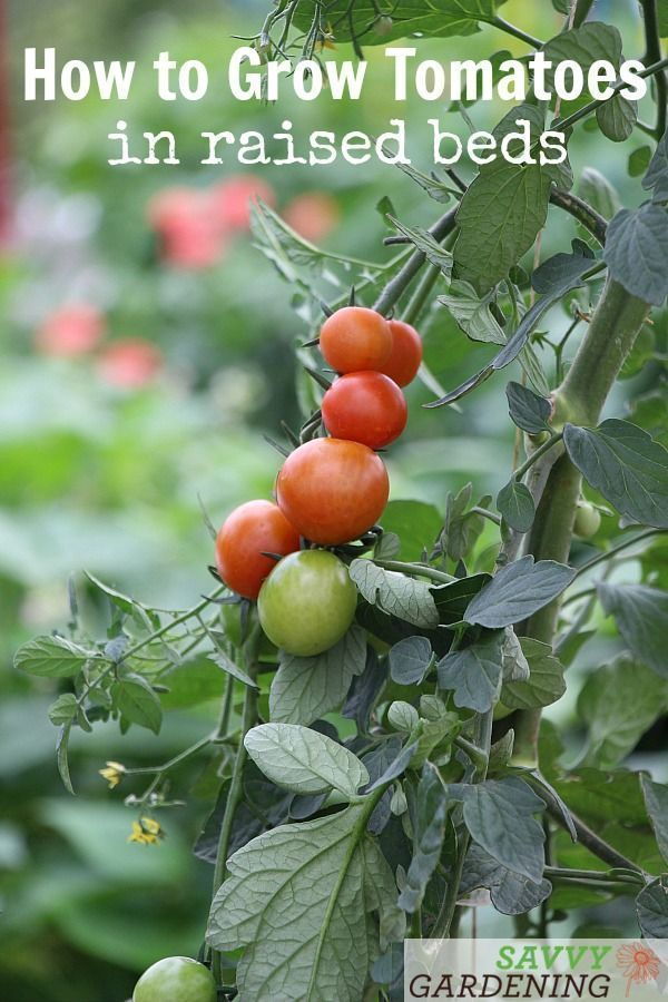 Garden Design Growing Tomatoes Raised Growing Tomatoes In Raised Bed Raised B In 2020 Vegetable Garden Raised Beds Growing Tomatoes Growing Tomatoes In Containers