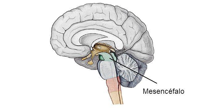 El mesencéfalo o cerebro medio es la porción del cerebro que conecta ...