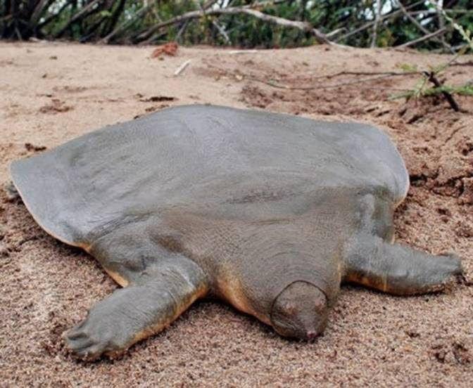Chinese Softshell Turtle