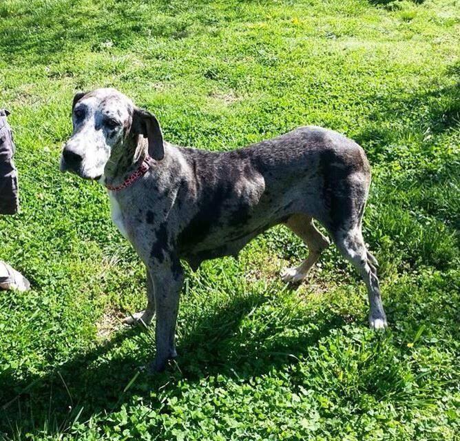 Meet Audrey A Petfinder Adoptable Great Dane Dog Murfreesboro