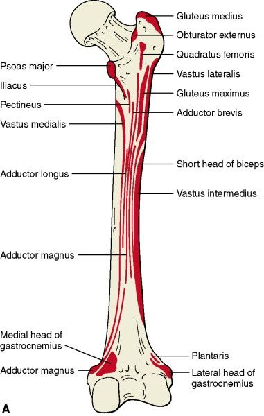 Image result for muscle attachments on femur