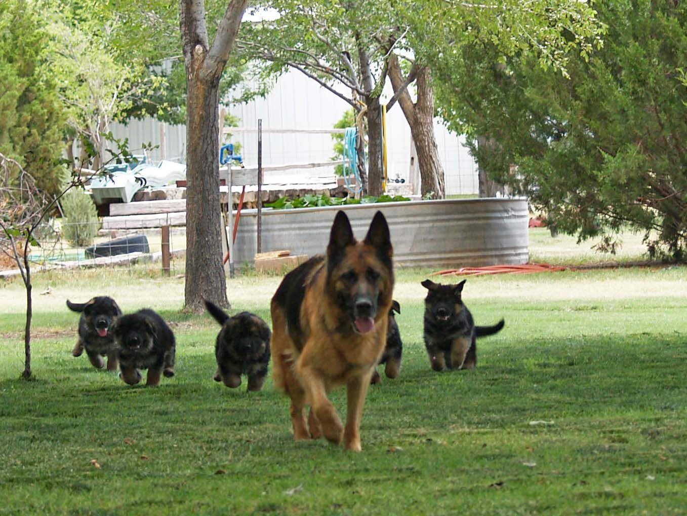 Red german shepherd puppies for sale in texas