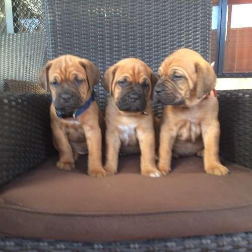 Dogue De Bordeaux Puppies French Mastiff For Sale Wa Perth French Mastiff French Mastiff Puppies Dogue De Bordeaux