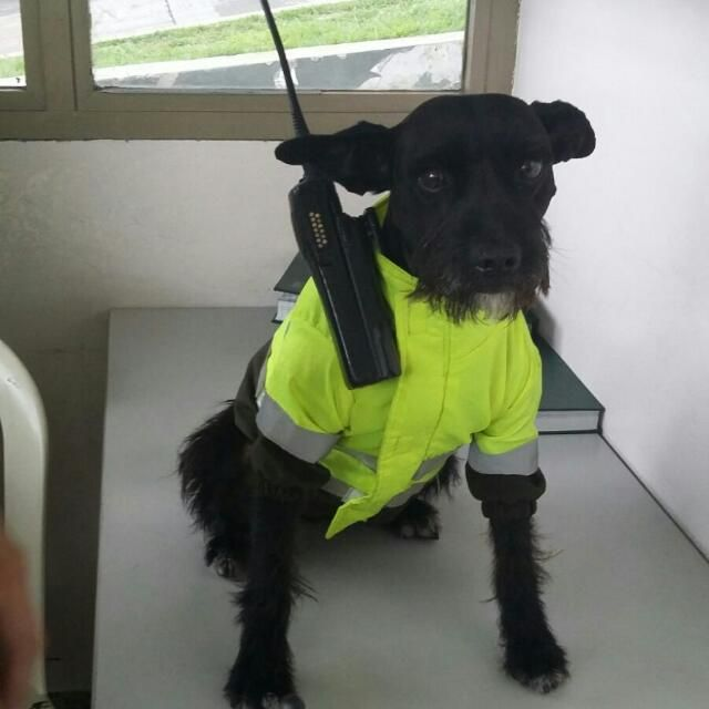 Even small dogs can join the police force. Meet Ñero. Read more