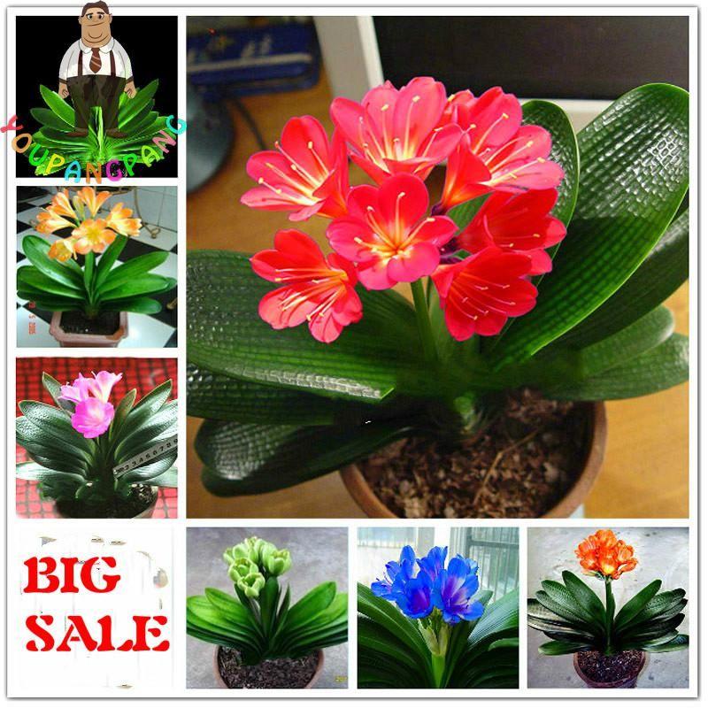 Plants, Seeds & Bulbs Home & Garden 100pcs Clivia Miniata Seeds Gorgeous Bonsai Rare Bush Lily Flower Seeds With A Long Standing Reputation