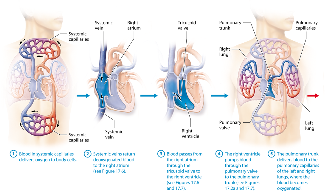 Module 17.2 Heart Anatomy and Blood Flow Pathway | Anatomy ...
