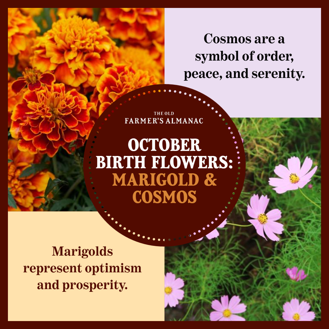 October Birth Flowers In 2020 October Birth Flowers Birth Flowers Birth Month Flowers
