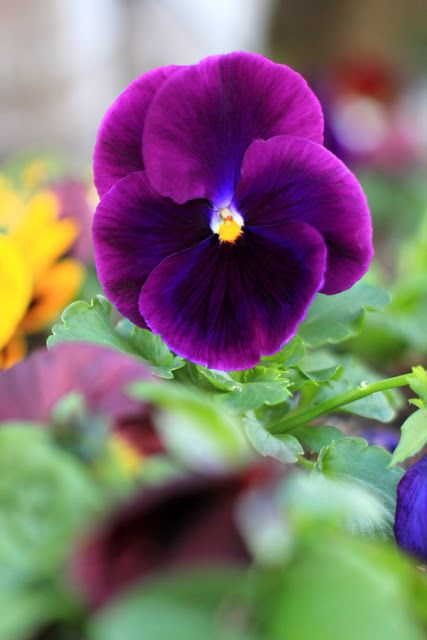 Friday Flower Pick Plum Perfect Pansies Pansies Flowers Spring Flowers Photography Flowers Photography