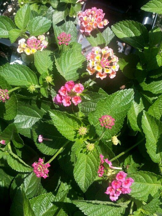 Pink Lukello Lantana Perennial Zone 7 10 Big Bloomers Flower Farm