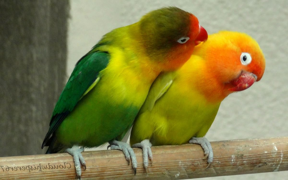 Images Of Lovebirds - Lovebirds For Beginners To Experts
