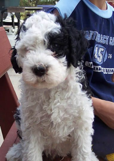 Portuguese Water Dog Puppies For Sale From Sunnybay Portuguese Water Dog Portuguese Water Dog Puppy Water Dog