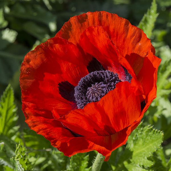Red poppy mohnblumen pinterest flowers garden stairs and red poppy mightylinksfo Gallery