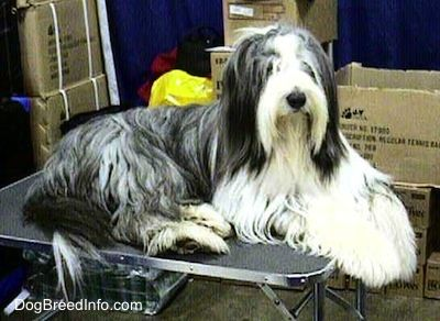 Bearded Collie Dog Breed Information And Pictures Griff S Picks