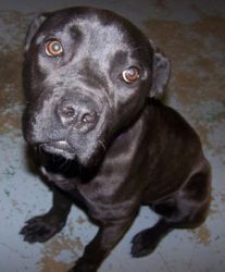 Adopt Panther On American Pitbull Terrier Pitbull Mix Mastiff Dogs